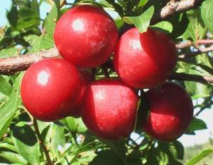 Плоды сладкой сливы