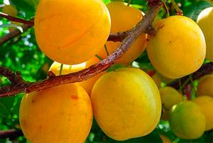 Спелые плоды сливы