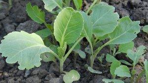 Как правильно выращивать рассаду капусты в домашних условиях?
