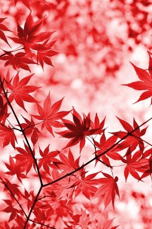 Пожелтение листьев клена