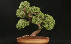 Особенности выращивания дерева бонсай