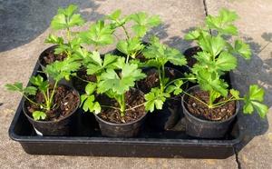 Как правильно посеять семена сельдерея
