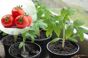 Как правильно посадить семена помидоров на рассаду