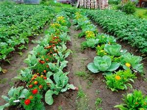 Преимущества совместной посадки овощей