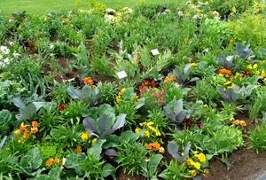 Что с чем сажать на огороде