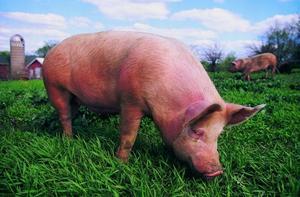 Краснобелопоясая порода свиней