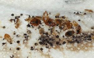 Кровососущие насекомые в квартире