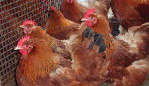 Кубанская красная порода кур:отзывы