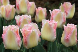 Какие сорта тюльпанов существуют