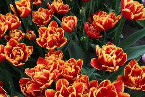 Уход за цветками тюльпанов