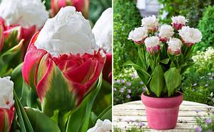 Как выбрать сорт тюльпанов