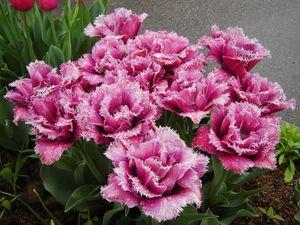 Разновидности сортов тюльпанов