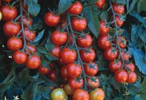 Скороспелый сорт томата