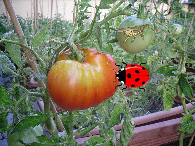 Методы борьбы с белокрылкой на томатах в теплице 2019 год: как избавиться от вредителя