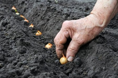 Правильно сажаем лук в 2019 ждём богатый урожай.