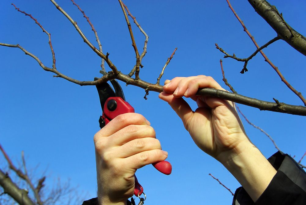 А вы знаете, как обрезать яблоню правильно? Проверьте свои знания и пополните копилку приёмов