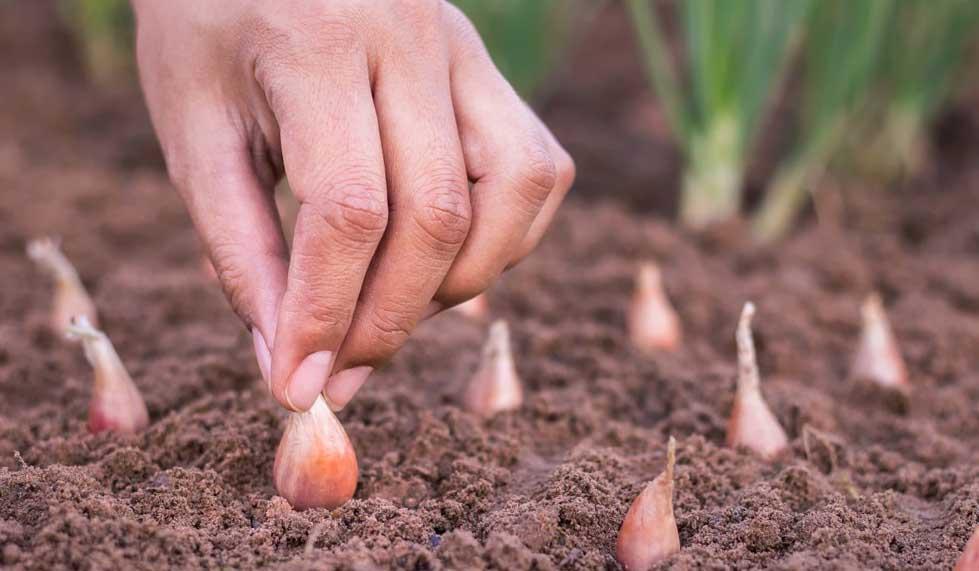 Посадка лука весной: правильно сажаем лук в мае 2021 года, подробно про подготовку севка на репку и крупную головку, посадка чернушки для выращивания головки за сезон