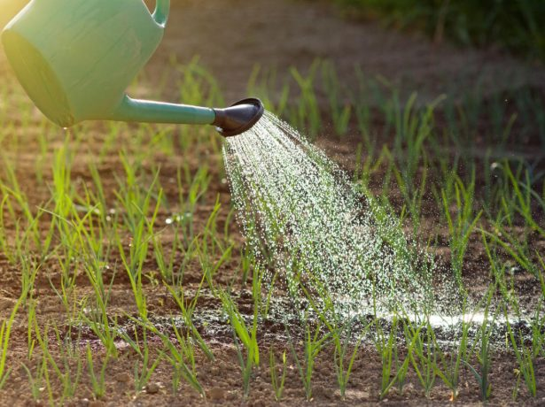 Как правильно поливать лук, чтобы получить хороший урожай, оптимальный способ увлажнения