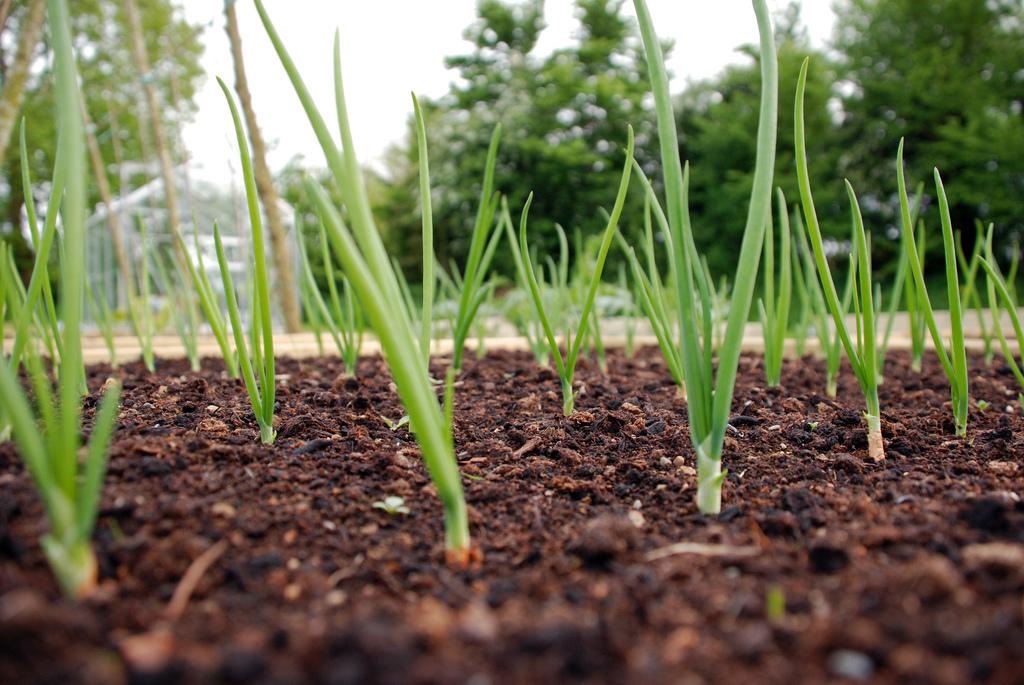 Полив лука в открытом грунте: нужен ли он овощу вообще, как правильно увлажнять посадки в жару и в дождь, когда прекращать процедуру орошения насовсем