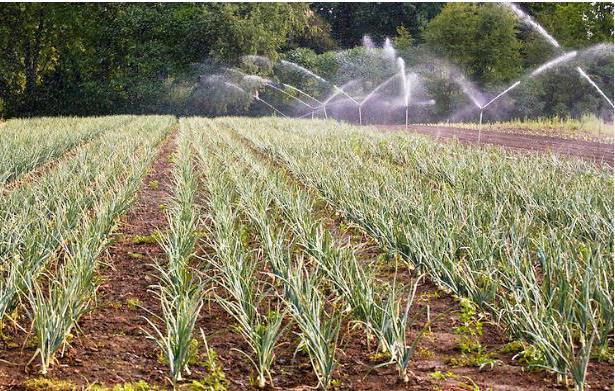 Полив лука в открытом грунте, как правильно поливать