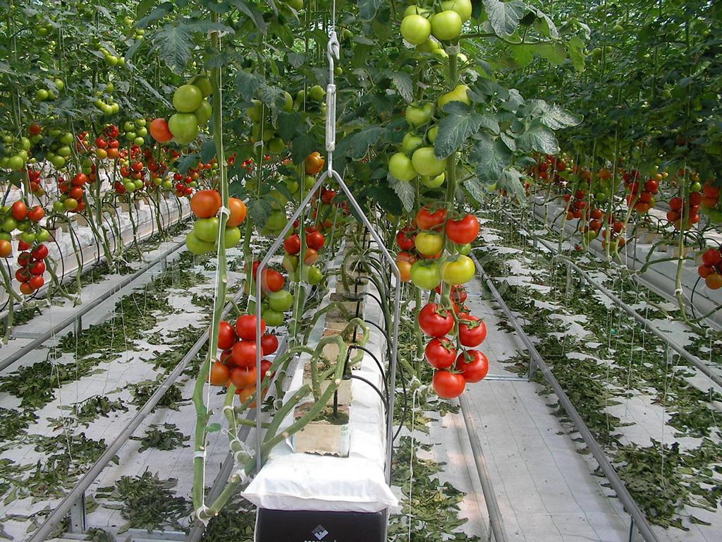 Самое время высаживать рассаду помидоров в теплицу в мае 2021: лунный календарь, как правильно выбирать день, ключевые условия и правила высадки, какая рассада помидор полностью готова к высадке