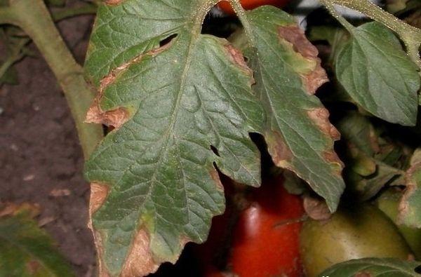 Самые частые болезни томатов в теплице и на открытом грунте