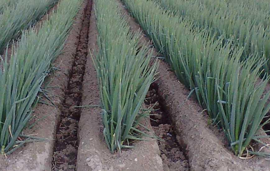 Подкормка лука на крупную головку: неоднократно проверенные схемы удобрений, минеральные и народные составы улучшающие качество урожая