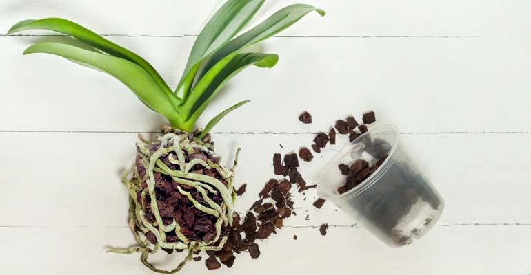 пересадка орхидеи корнями