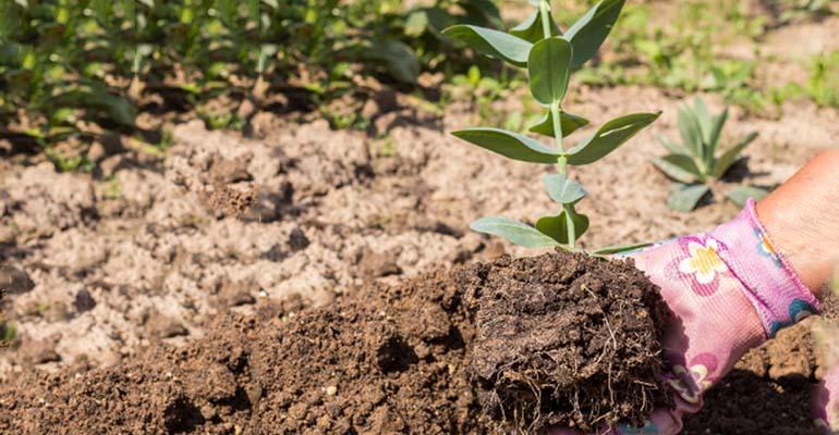 эустома в грунте выращивание и уход
