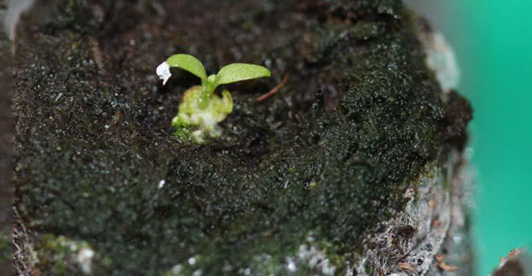 эустома выращивание в домашних условиях из семян