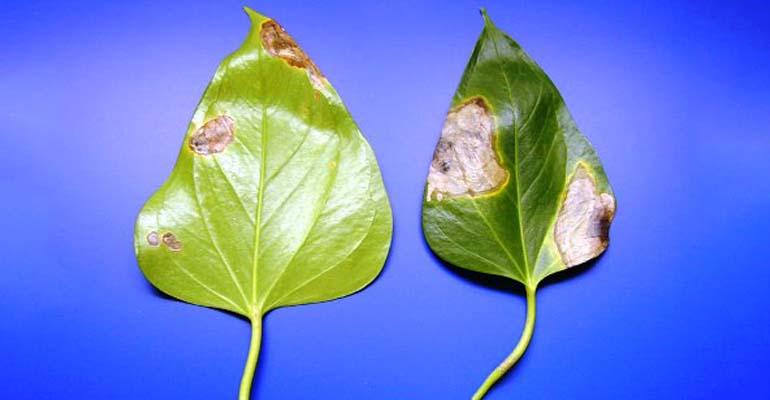 антуриум цветок уход в домашних условиях пересадка