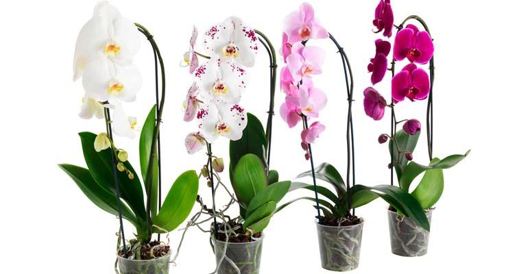 орхидеи пересадка и уход в домашних
