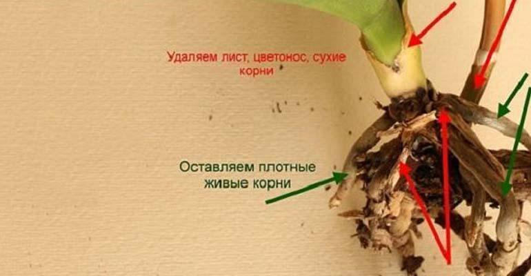 пересадка орхидей листом