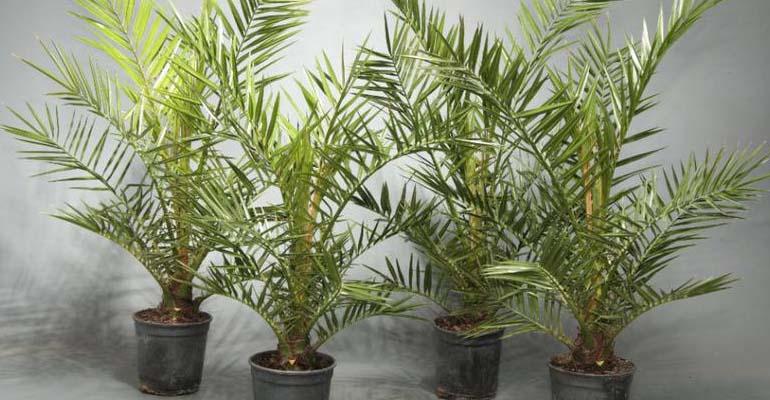 финиковая пальма из косточки уход