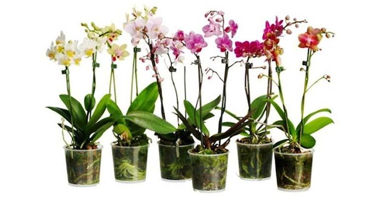 пересадка орхидеи в домашних