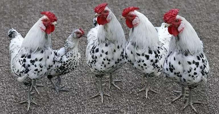 какая порода курица несушка лучшая