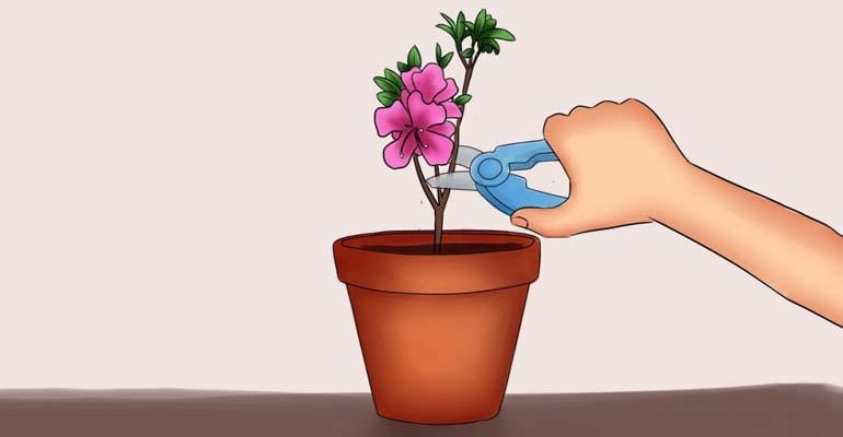 эустома выращивание дома в горшках