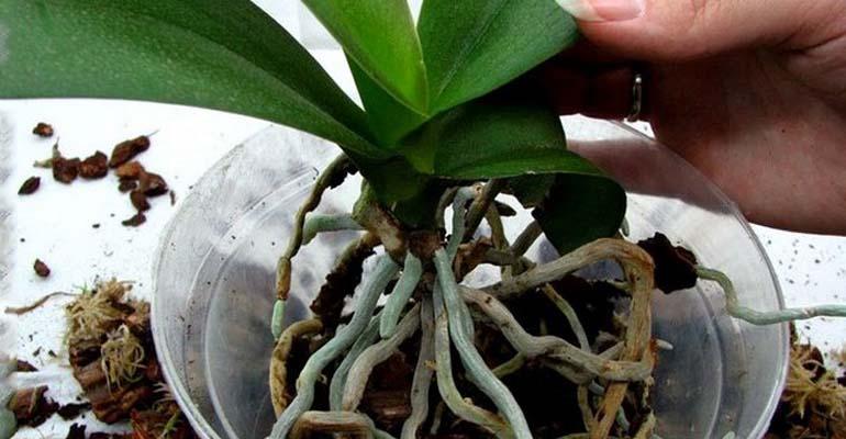 орхидея пересадка и уход