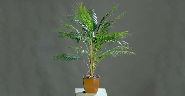 финиковая пальма условия уход