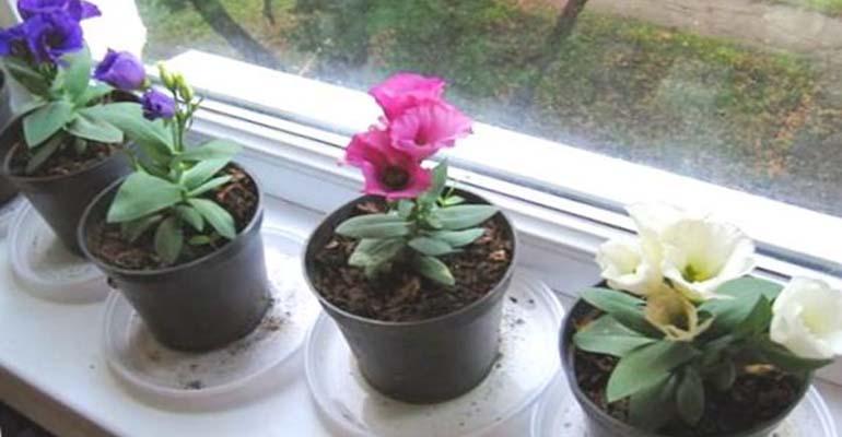 эустома выращивание дома