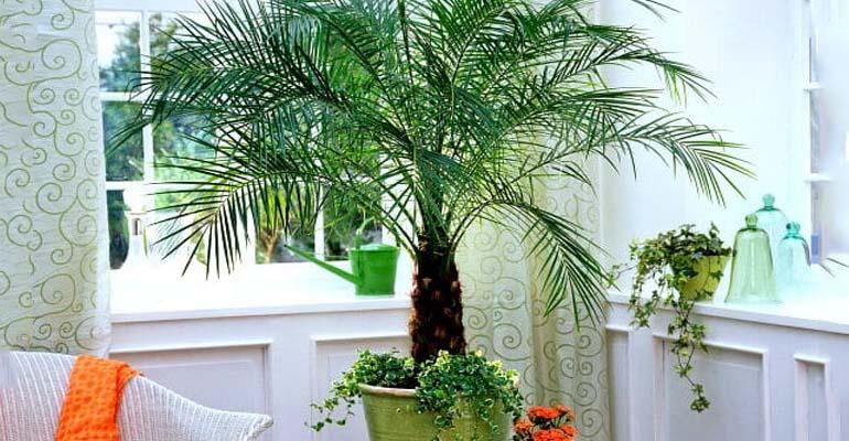 финиковая пальма дома уход