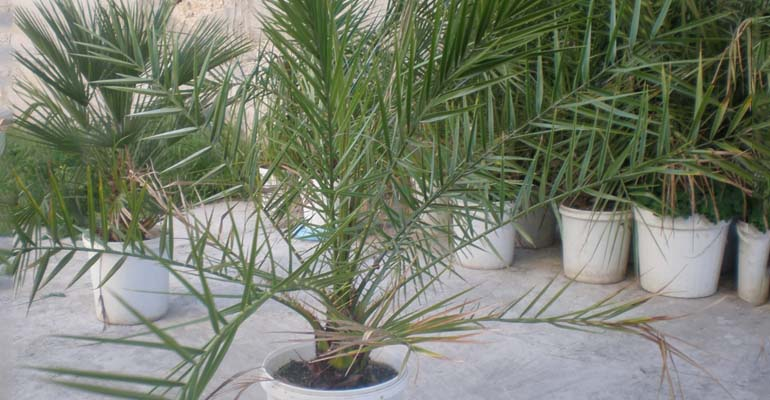 финиковая пальма в домашних из косточек уход