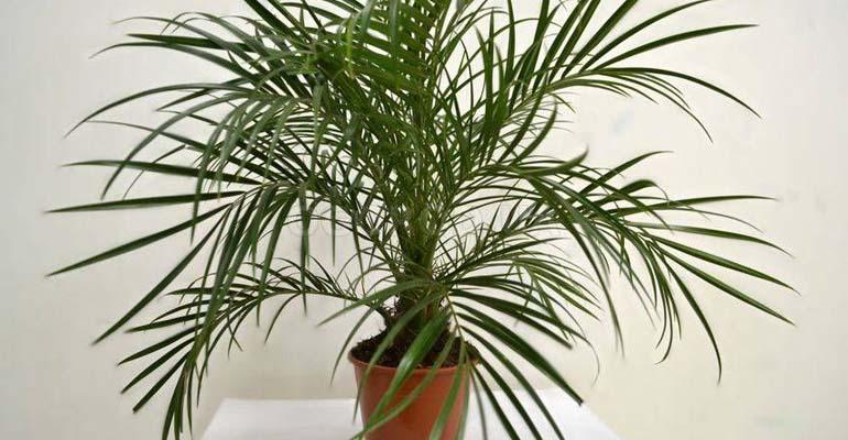 комнатная финиковая пальма уход