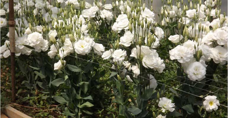 эустома выращивание и уход в домашних