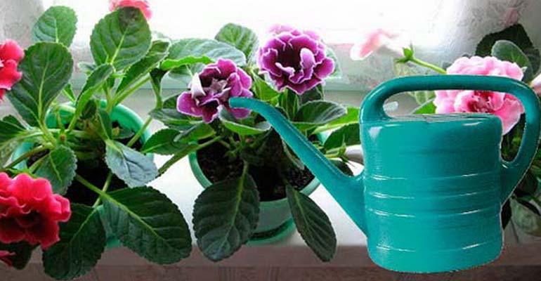 глоксиния уход в домашних