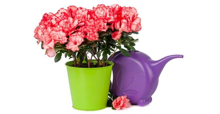 комнатные цветы азалии