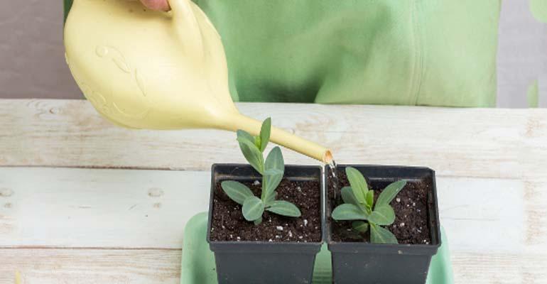 выращивание эустомы на даче