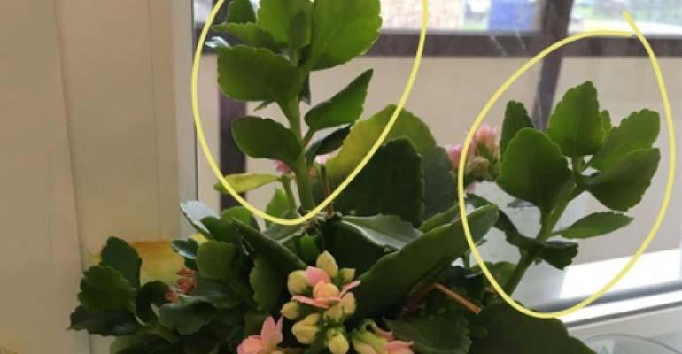 каланхоэ уход в домашних цветение