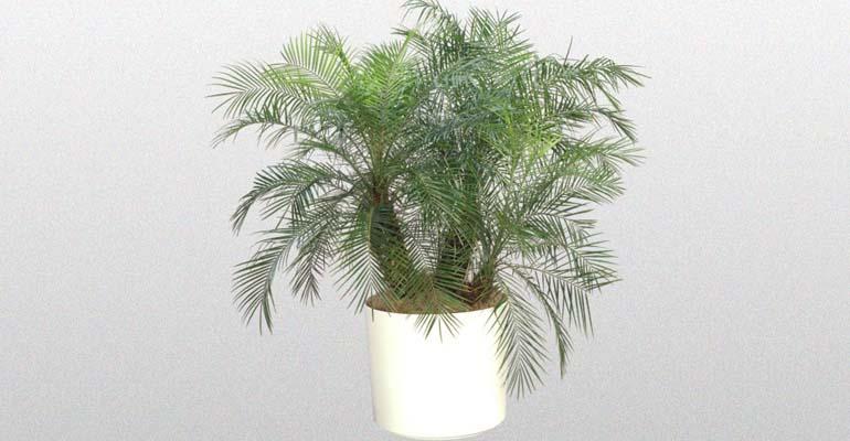 финиковая пальма фото уход
