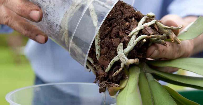 орхидея пересадка полив
